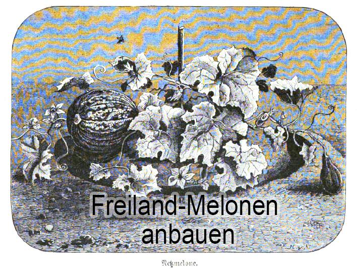 Das Bild zeigt eine Melonenpflanze, die im Freiland angebaut wurde.