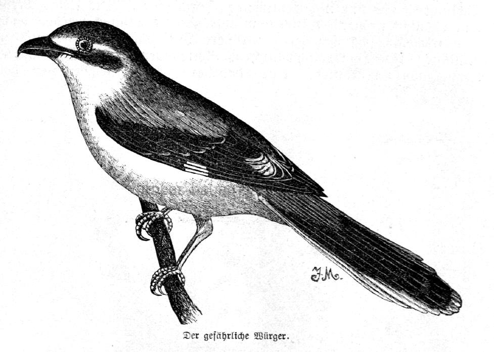 Das Bild zeigt einen Raubwürger (Vogel)