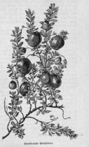 Das Bild zeigt Früchte der amerikanischen Preiselbeere (Vaccinium macrocarpon)