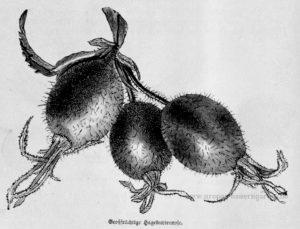 Das Bild zeigt Früchte der Hagebutte (Rosa canina)