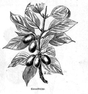Das Bild zeigt Früchte der Kornelkirsche (Cornus mas)