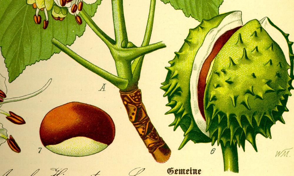 Das Bild zeigt eine Frucht der Roßkastanie, Aesculus hippocastanum