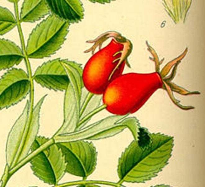 Herstellen von Hagebuttenmarmelade, Likör, Tee. Konservieren von Hagebutten, Hagebuttenmarmelade oder auch getrocknete Hagebuttenkerne.