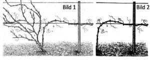 Das Bild zeigt einen Weinstock bzw. eine Rebe, links in ungeschnittener Form und rechts in geschnittener nach dem Rebschnitt