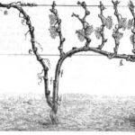 Das Bild zeigt den beschnittenen Weinstock mit Früchten im Herbst (Ernte)