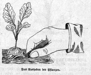 Das Bild zeigt eine Hand, die beim Ausheben und Pikieren von einer Gemüsepflanze ist.