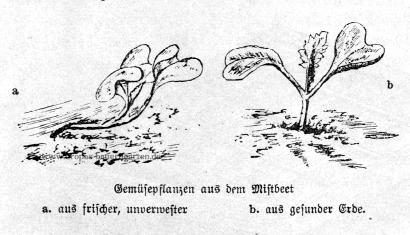 Das Bild zeigt zwei verschiedene Gemüsepflanzen. Eine ist in schlechter und zu frischer, unverwester Erde gewachsen, die andere in guter selbst hergestellter Mistbeeterde.
