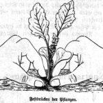 Eine Pflanze muss nach dem Auspflanzen bzw. Pikieren richtig festgedrückt werden. Dies ist im Bild zu sehen.