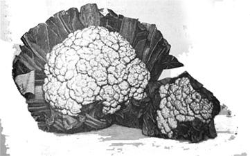 Die Abbildung zeigt einen Blumenkohl. Blumenkohl lässt sich bereits im Februar aussäen.