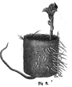 Das Bild zeigt eine Puffbohne, die in einem Anzuchttopf vorgezogen wurde.