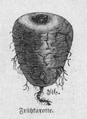 Die Abbildung zeigt eine frühe Karotte.