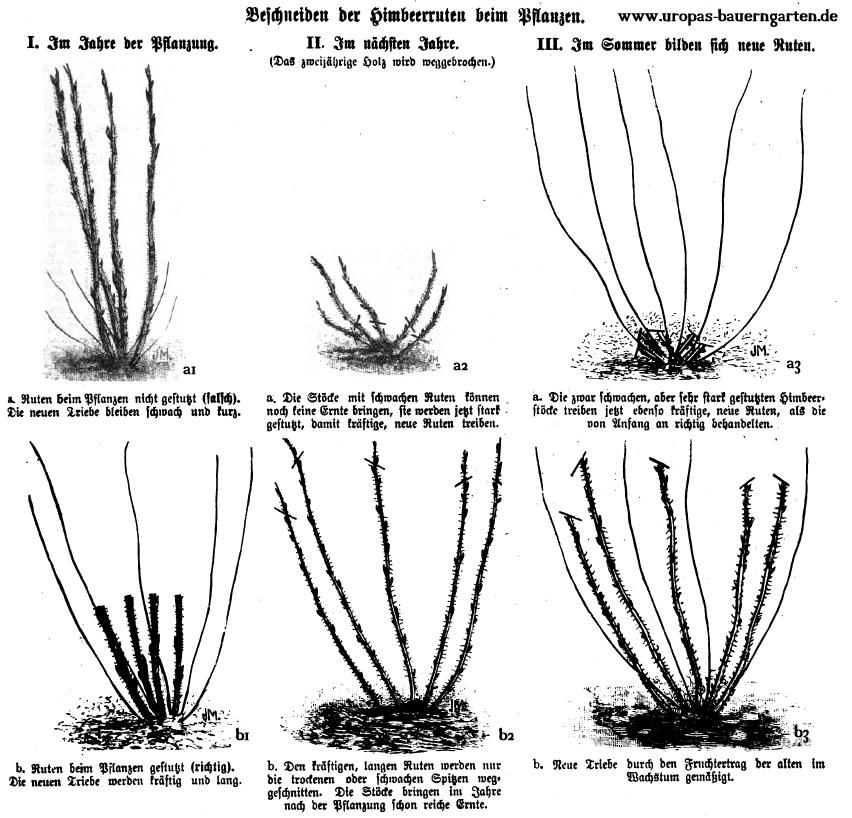 Auf der Abbildung sind die einzelnen Schritte aufgezeigt, wie man eine Himbeere nach dem Pflanzen verschneiden muss damit diese in den folgenden Jahren reich trägt und eine gute Ernte bringt.