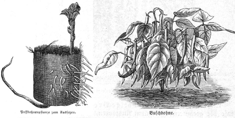 Das Bild zeigt eine Puffbohne im Vorzuchttopf sowie eine Buschbohne als ganze Pflanze nach der Aussaat.
